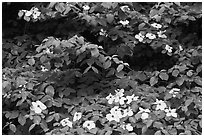 Dogwoods flowers and leaves. Yosemite National Park ( black and white)