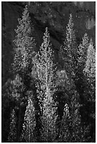 Pines with yellowed leaves and cliff. Yosemite National Park ( black and white)