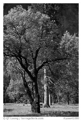 Oak tree in spring, El Capitan Meadow. Yosemite National Park (black and white)