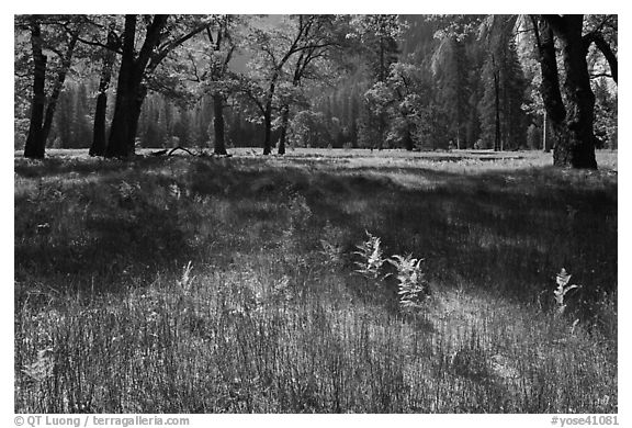 New ferns, grasses,  and oak trees, El Capitan Meadow. Yosemite National Park (black and white)