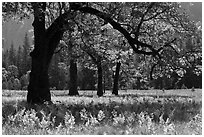 Ferns and oak trees in spring, El Capitan Meadow. Yosemite National Park, California, USA. (black and white)