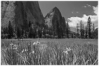 Wild irises, El Capitan meadows, and Cathedral Rocks. Yosemite National Park ( black and white)