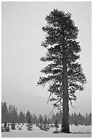 Tall solitary pine tree in snow storm. Yosemite National Park ( black and white)