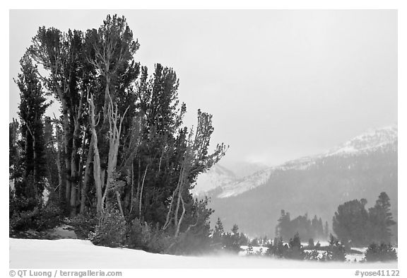 Trees in storm with blowing snow, Tioga Pass. Yosemite National Park (black and white)