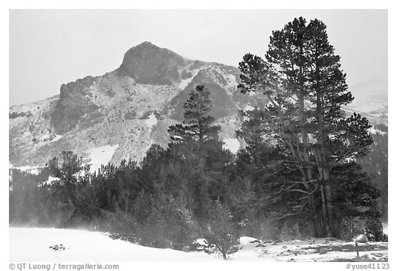Trees and peak with fresh snow, Tioga Pass. Yosemite National Park (black and white)