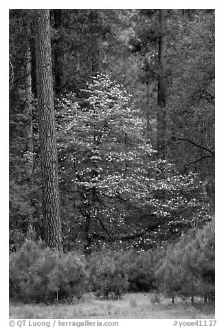 Forest with dogwood tree in bloom. Yosemite National Park (black and white)