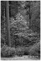 Forest with dogwood tree in bloom. Yosemite National Park, California, USA. (black and white)