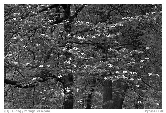 Flowering dogwood tree. Yosemite National Park (black and white)