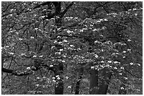 Flowering dogwood tree. Yosemite National Park, California, USA. (black and white)
