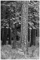 Ponderosa Pine and forest. Yosemite National Park, California, USA. (black and white)