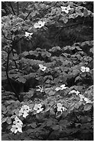 Dogwood tree branches with flowers. Yosemite National Park, California, USA. (black and white)