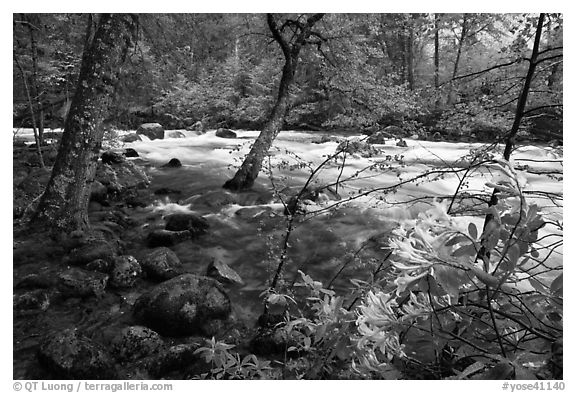 Azelea and Merced River, Happy Isles. Yosemite National Park (black and white)