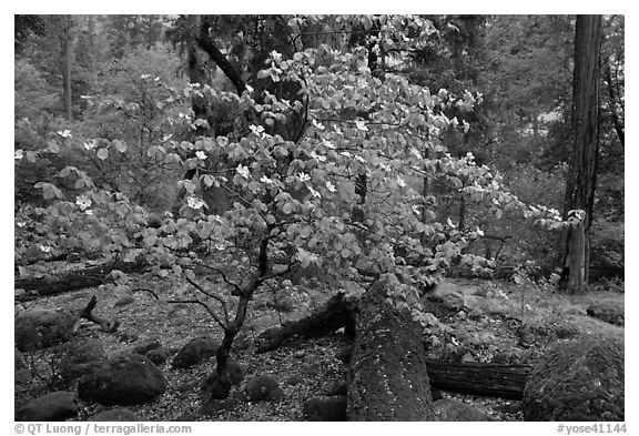 Dogwood tree and mossy boulders in spring, Happy Isles. Yosemite National Park (black and white)