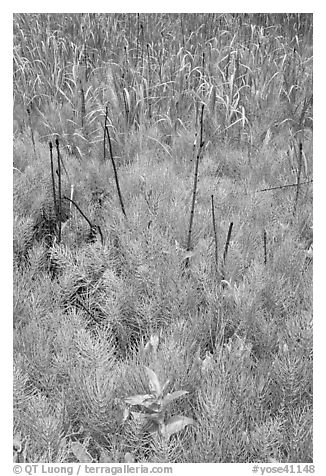 Horsetail grass (Equisetum arvense) near Happy Isles. Yosemite National Park (black and white)
