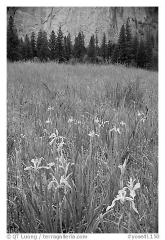 Iris and cliffs, El Capitan Meadow. Yosemite National Park (black and white)
