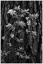 Azelea and pine trunk. Yosemite National Park, California, USA. (black and white)