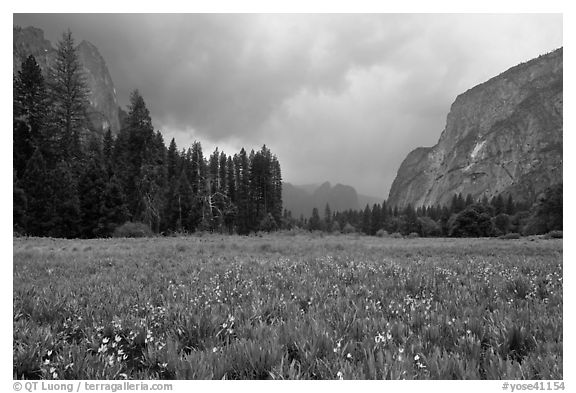 Wildflowers in Cook Meadow in stormy weather. Yosemite National Park (black and white)