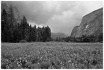 Wildflowers in Cook Meadow in stormy weather. Yosemite National Park, California, USA. (black and white)