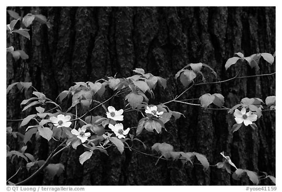 Dogwood branch with flowers against trunk. Yosemite National Park (black and white)