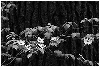 Dogwood branch with flowers against trunk. Yosemite National Park, California, USA. (black and white)