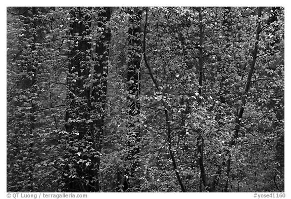 Curtain of recent Dogwood leaves and flowers in forest. Yosemite National Park (black and white)
