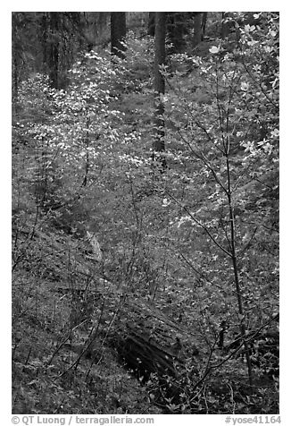 Ravine in spring with blooming dogwoods near Crane Flat. Yosemite National Park (black and white)