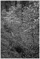 Ravine in spring with blooming dogwoods near Crane Flat. Yosemite National Park ( black and white)