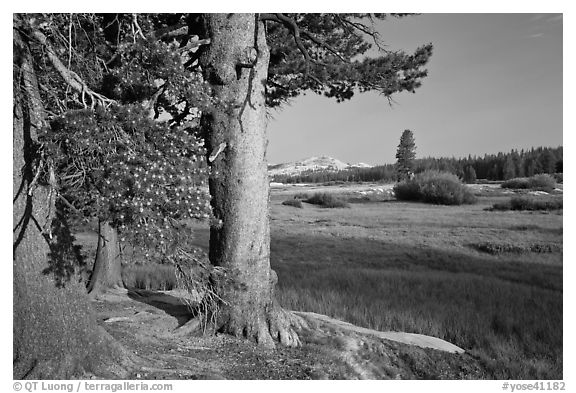 Pine trees and Tuolumne Meadows, early morning. Yosemite National Park (black and white)