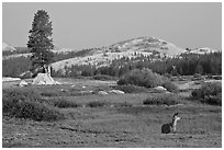 Deer, meadows, and Pothole Dome, early morning. Yosemite National Park ( black and white)