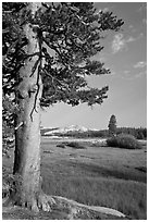 Pine tree in meadow, Tuolumne Meadows. Yosemite National Park, California, USA. (black and white)