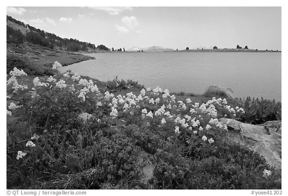 Wildflowers and lower Gaylor Lake. Yosemite National Park (black and white)