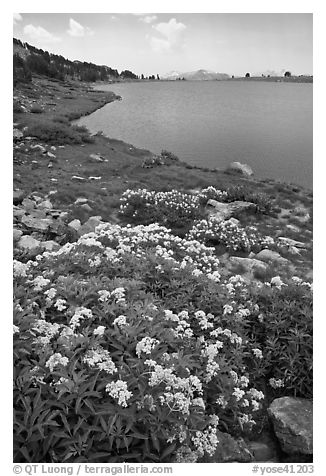 Alpine flowers near Gaylor Lake. Yosemite National Park (black and white)