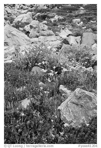 Alpine flowers and rocks. Yosemite National Park (black and white)