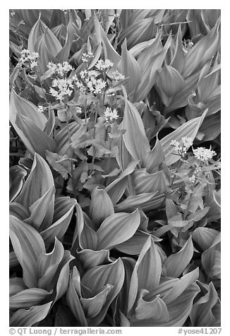 Corn lillies with yellow flowers. Yosemite National Park (black and white)