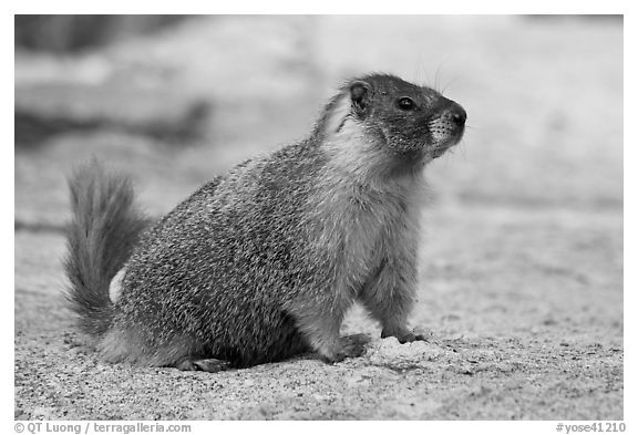 Marmot on slab. Yosemite National Park (black and white)