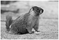 Marmot on slab. Yosemite National Park, California, USA. (black and white)