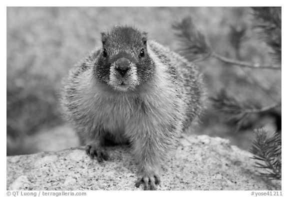 Front view of marmot. Yosemite National Park (black and white)