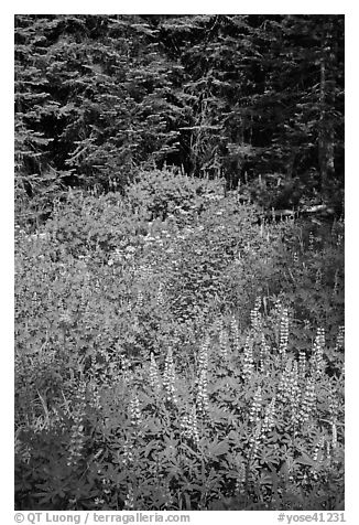 Lupine, yellow flowers, and trees, Yosemite Creek. Yosemite National Park (black and white)