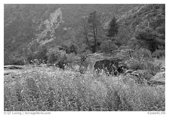 Flowers and trees, Hetch Hetchy. Yosemite National Park (black and white)