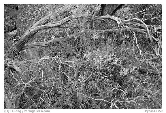 Dead branches, shrubs, and rocks, Hetch Hetchy. Yosemite National Park (black and white)