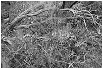 Dead branches, shrubs, and rocks, Hetch Hetchy. Yosemite National Park, California, USA. (black and white)