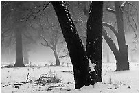 Black oaks, snow, and fog, El Capitan Meadow. Yosemite National Park, California, USA. (black and white)