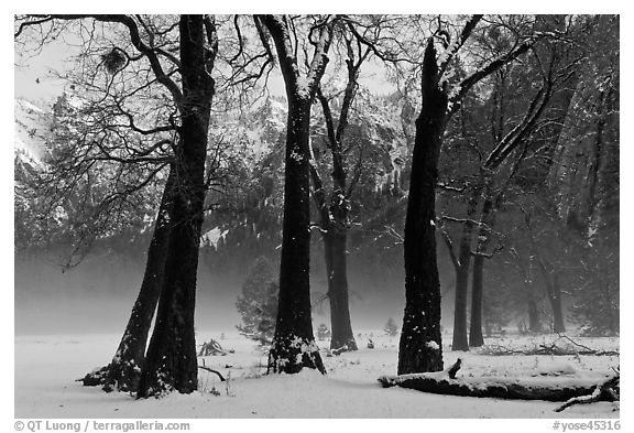 Group of oaks in El Capitan Meadow with winter fog. Yosemite National Park (black and white)