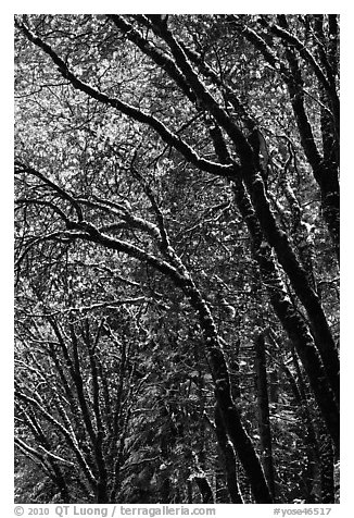 Green leaves and fresh snow. Yosemite National Park (black and white)
