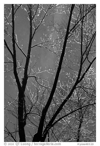 Bare branches and Bridalveil Fall. Yosemite National Park (black and white)