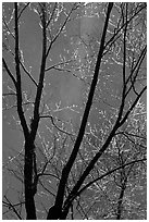Bare branches and Bridalveil Fall. Yosemite National Park, California, USA. (black and white)