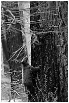 Bear cub climbing tree. Yosemite National Park ( black and white)