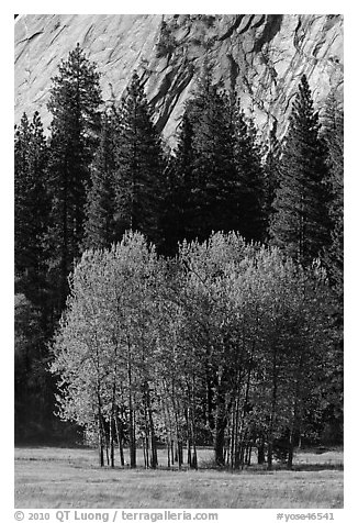 Aspens in Ahwanhee Meadows in spring. Yosemite National Park (black and white)