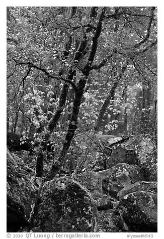 Boulders and newly leafed tree, Happy Isles. Yosemite National Park (black and white)
