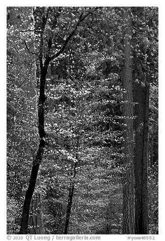 Forest with dogwood blooming. Yosemite National Park (black and white)